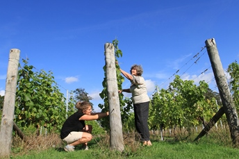 "26/09/11.  TODAY PHOTO...Volunteer Jane Travis, 32, helps with the start of the harvest today...One of Britain's most northerly vineyards has started its harvest three weeks earlier than ever before - ahead of many other vineyards in the south...Volunteers at Renishaw Hall Vineyard, near Chesterfield began picking Madeline Angevine grapes this morning and will all get a bottle of the estate's   sparkling wine for their trouble...Vineyard Manager Kieron Atkinson who also works with other vineyards in the south said:   ""It's the earliest we've ever harvested here in the north, we may even be earlier than many southern vineyards...""The good weather this week means that sugar levels in the grapes rise one last time which is rare for this country at this time of year. ..""This helps the grapes reach an ideal quality and should produce an excellent vintage...""The dry weather prevents any disease on the grapes making handling of the grapes in the winery a lot easier.""..Renishaw also grow the Seyval Blanc variety of grape in their two acre vineyard. This together with the Madeline Angevine harvested today will be blended to make still and sparkling wines. Bottles can be purchased from the estate shop on via mail order online...All Rights Reserved - All Rights Reserved - F Stop Press  - T: +44 (0)1335 324700.Local copyright law applies to all print & online usage. Fees charged will comply with standard space rates and usage for that country, region or state."